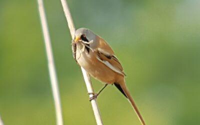 Baardmannetjes en andere zangvogels in de winter, excursie op maat