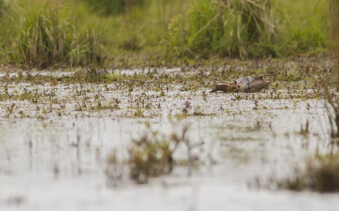 Zomertaling in het Vogelmeer Zuid Kennemerland
