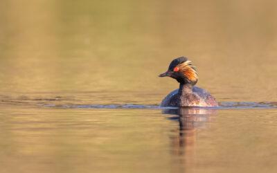 Geoorde futen in het Vogelmeer Kennemerduinen en zomervogels, 8 juli