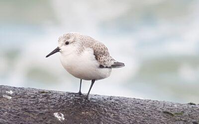 Zeevogels kijken op de Zuidpier IJmuiden, 24 oktober 2020